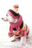 Dog wearing winter sweater beanie scarf Royalty Free Stock Images
