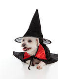 Dog wearing a witch hat and cape. A white maltese terrier wears a black witches hat and a black and red cape.  White background Royalty Free Stock Image