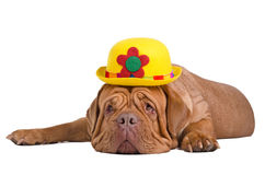 Dog wearing yellow bowler (derby) hat. Sad dogue de bordeaux with yellow bowler (derby) hat is waiting for summer Royalty Free Stock Image