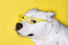 Dog wearing yellow glasses Royalty Free Stock Photo