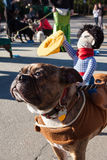 Dog Wears Cowboy Doll On Back At Eclectic Costume Parade Stock Photo