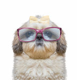 Dog wears glasses. he has very poor eyesight. His eyes are huge and funny royalty free stock images