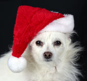 Dog Wears Santa Hat Royalty Free Stock Photography