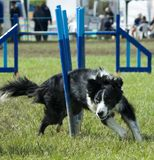 Dog weaving through obstacle. In supadog agility show stock photography