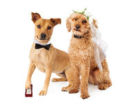 Dog Wedding Bride and Groom Stock Photos