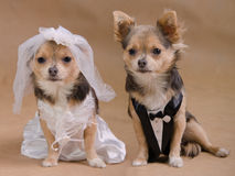 Dog wedding - chihuahua bride and groom. A male and a female chihuahua dressed as a bride and groom, isolated Stock Image