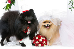 Free Dog Wedding Couple Under Flower Arch Stock Images - 99156604