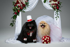 Dog wedding couple under flower arch Stock Photography