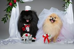 Dog wedding couple under flower arch. Beautiful spitz wedding couple drinking water from glasses under flower arch on gray background. dog bride in skirt and Royalty Free Stock Photo
