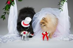 Dog wedding couple under flower arch. Beautiful spitz wedding couple drinking water from glasses under flower arch on gray background. dog bride in skirt and Royalty Free Stock Photos
