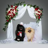 Dog wedding couple under flower arch Royalty Free Stock Photo