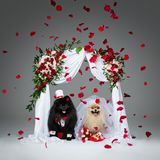 Dog wedding couple under flower arch. Beautiful spitz wedding couple kissing under flower arch over grey background. dog bride in skirt and veil. groom in suit Royalty Free Stock Image
