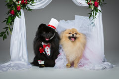 Dog wedding couple under flower arch Stock Images