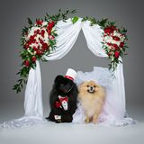 Dog wedding couple under flower arch. Beautiful spitz wedding couple kissing under flower arch over grey background. dog bride in skirt and veil. groom in suit Stock Photo