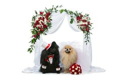 Dog wedding couple under flower arch. Beautiful spitz wedding couple sitting under flower arch isolated on white background. dog bride in skirt and veil. groom Stock Image