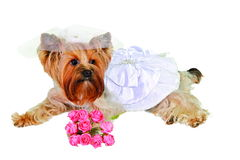 Dog in wedding dress Royalty Free Stock Photos