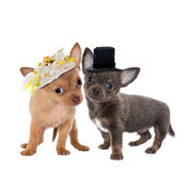 Dog wedding Royalty Free Stock Photography