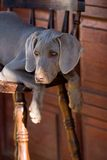 Dog weimaraner. Pure breed weimaraner dog on the chair Stock Images