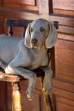Dog weimaraner Royalty Free Stock Images