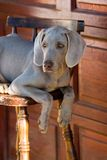 Dog weimaraner Stock Image