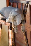 Dog weimaraner Stock Photo
