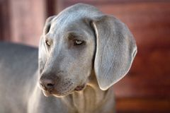 Dog weimaraner stock photography