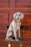 Dog weimaraner Royalty Free Stock Image