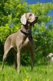 Dog weimaraner 4 Royalty Free Stock Photos