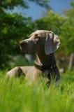 Dog weimaraner portrait Stock Images