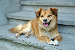 Dog welcome home. Red dog welcome home on blue stairs Royalty Free Stock Image