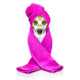 Dog wellness spa center. Jack russell dog relaxing  with beauty mask in  spa wellness center , moisturizing cream mask and cucumber , isolated on white Royalty Free Stock Images
