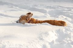 Dog Welsh Corgi cardigan in the winter in the snow. Dog Welsh Corgi cardigan plays in the winter in the snow for a walk Royalty Free Stock Photos