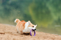 Dog Welsh Corgi flying Stock Image