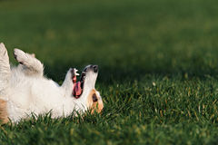 Dog Welsh Corgi lies on his back Royalty Free Stock Images