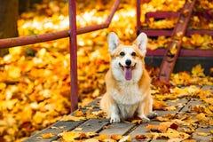 Dog welsh corgi pembroke royalty free stock images