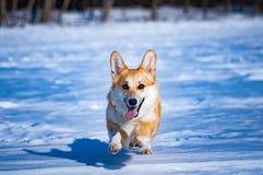Dog welsh corgi pembroke royalty free stock photo