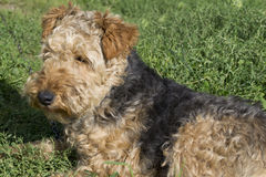 Dog - Welsh terrier Royalty Free Stock Photo