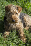 Dog - Welsh terrier Stock Photo