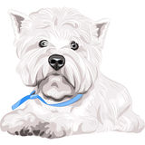 Dog West Highland White Terrier breed sitting Royalty Free Stock Images