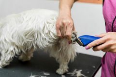 Dog West Highland White Terrier Grooming. Dog Grooming. Master shear white terrier dog Royalty Free Stock Photo