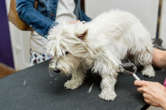 Dog West Highland White Terrier Grooming. Dog Grooming. Master shear white terrier dog Stock Photography