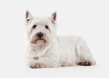 Dog. West Highland White Terrier on white background Royalty Free Stock Photo