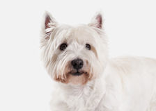 Dog. West Highland White Terrier on white background Stock Image