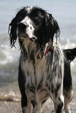 Dog Wet from Sea. A dripping wet blue-eyed dog emerges from the sea in a playful mood Stock Images