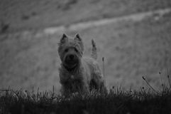Dog Weth Highland White Terrier Playing In The Meadows Of The Mountains Of Galicia. Photography In Black And White. Travel Animals. Nature. August 18, 2016 stock image