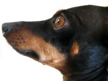 Dog, What a. Miniature  dachshund & miniature pinscher mix Royalty Free Stock Photos