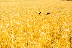 Dog in the wheat field Royalty Free Stock Images