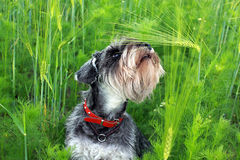 Dog among the wheaten ears Stock Photography