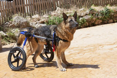 Dog wheelchair. German Shepherd in wheelchair enjoying a swim Stock Photography