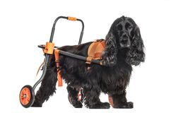 Dog in a wheelchair, English Cocker Spaniel 8 years old. Isolated on white stock images